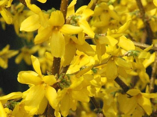 """1 Forythia shrub – 4"""" pot, Plantly"""