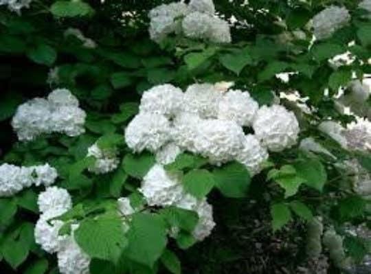 Japanese Snowball Bush – Quart, Plantly