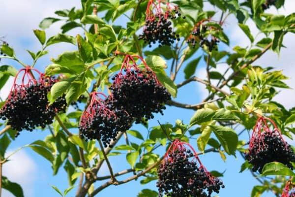 1 Elderberry plant (Quart), Plantly