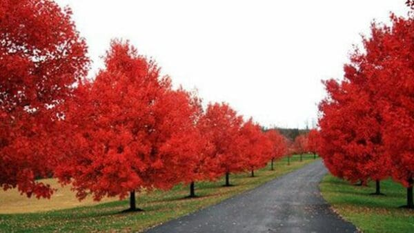 1 Sun Valley Red Maple 2 1/2″ pot, Plantly