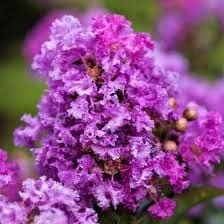 1 Crepe Myrtle Pink/Purple, Plantly