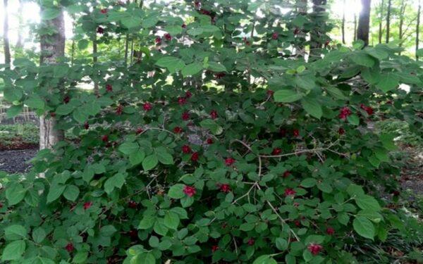 1 Sweet Shrub – Quart, Plantly
