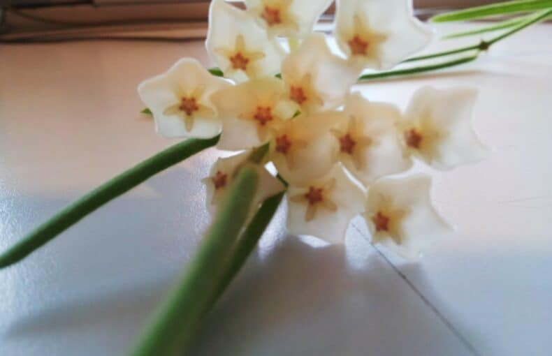 hoya linearis plant