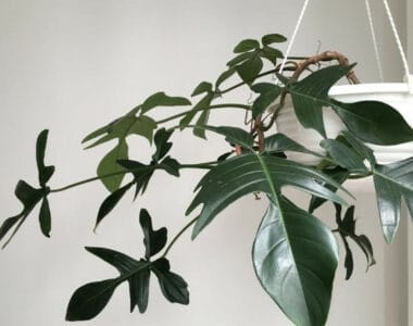 Philodendron Florida Ghost Plant