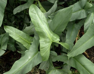 philodendron silver sword plant