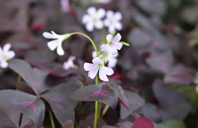 purple shamrock plant